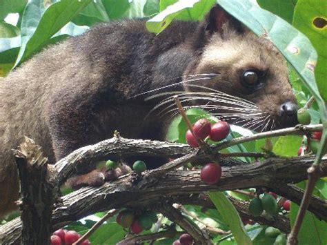 Kopi Luwak Wild Civet Coffee