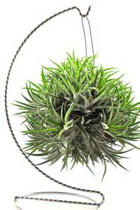 Indoor Fairy Garden Plants - air plant variety ionantha balls unique natural gifts gifts under