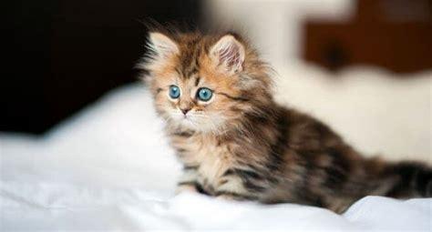 cuccioli di gatti persiani gatto persiano variet 224 carattere e caratteristiche dei