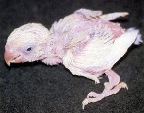Harga Pakan Burung American Selection penyakit burung lovebirds