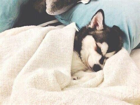 husky puppy sleeping sleepy image 2708405 by saaabrina on favim