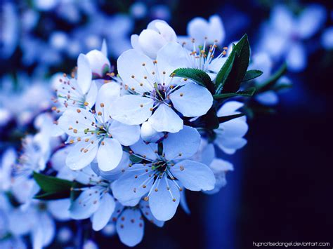 Blue Cherry blue cherry blossom by hypnotisedangel on deviantart