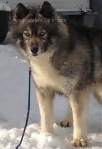 husky coat colors moved temporarily