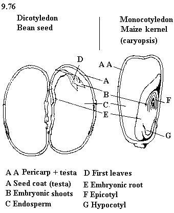 bean seed diagram unbiology6