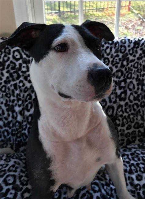 adopt puppies nj view ad american pit bull terrier for adoption new jersey wenonah usa