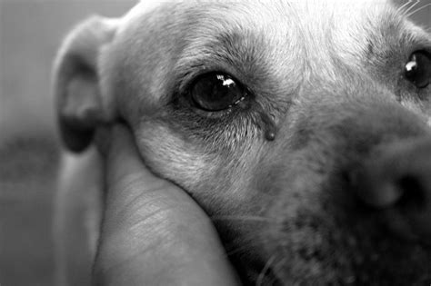 dogs cry  guide  dog tears  emotions