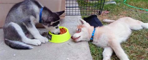 how often should 4 week puppies eat should puppies eat puppy food foodfash co