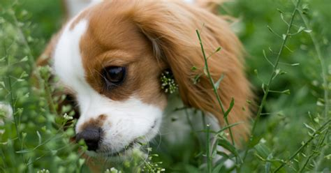 why do puppies eat grass why does my eat grass