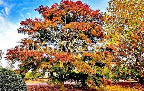 Pflege Bonsai 6380 by Acer Palmatum Seyriu 187 Luxurytrees 174 Deutschland