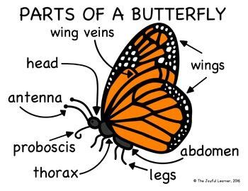 diagram of a butterfly enjoy this parts of a butterfly diagram freebie the file