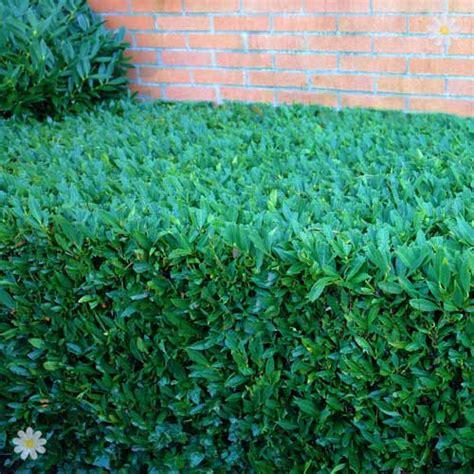 prunus laurocerasus rotundifolia hedge 5 laurel hedging plant prunus laurocerasus rotundifolia