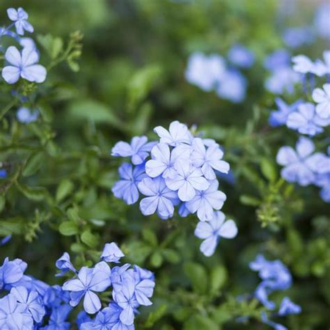Attache Plante Grimpante by Fleur Grimpante Liste Ooreka