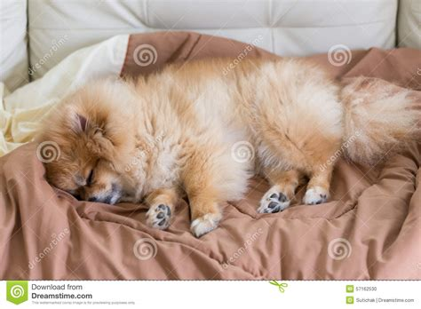 pomeranian bed pet in house pomeranian sleeping on the bed stock photo image 57162530