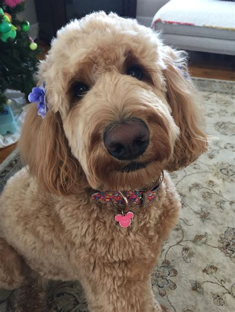 goldendoodle puppy tips 16 best images about our goldendoodle on