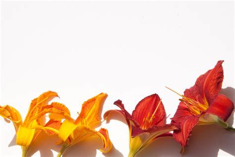format bisnis plant bakgrundsbilder blad blomma kronblad sommar orange