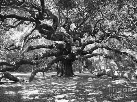 black tree angel oak tree black and white photograph by melanie snipes