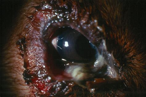 blepharitis in dogs lump lids veterinary ophthalmology