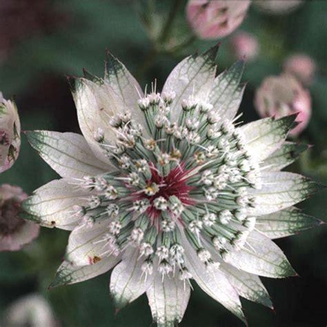 astrantia shaggy seeds   fothergills seeds  plants