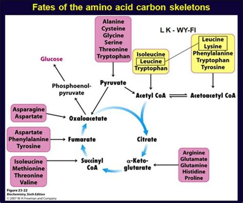 Amino Acid Template Cards by Mcb 69 Amino Acid Oxidation Flashcards Quizlet