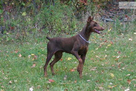 doberman puppies for sale nj november doberman pinscher puppy for sale near scranton wilkes barre pennsylvania