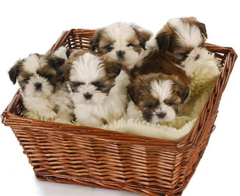 best puppy food shih tzu best food for shih tzu reviews a buyers guide march 2018