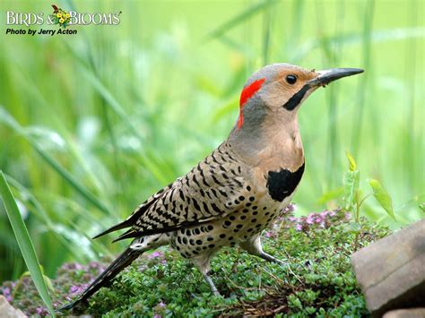 northern flicker birds of wisconsin pinterest bird