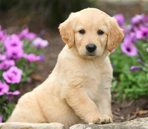 golden retriever puppies available now pets for sale