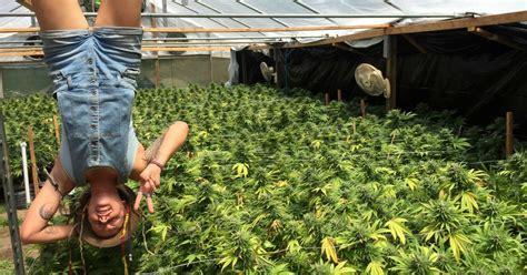 grueling  lucrative life   nomadic marijuana trimmer