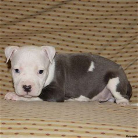 pitbull puppies for sale in md 17 best images about pitbulls on staffordshire bull terriers pit bull and