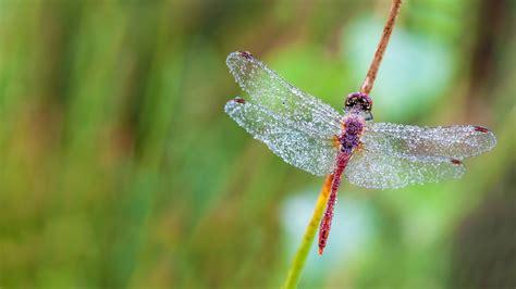 a of flanders dragonfly in a heath forest of east flanders belgium 169 marcel derweduwen