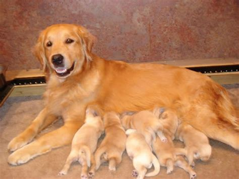 nursing puppies colonial golden s litters