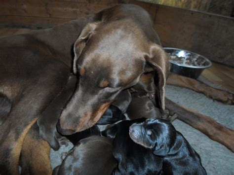 doberman puppies for sale colorado doberman puppies for sale loughborough leicestershire pets4homes