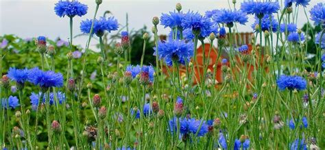 fiore fiordaliso il fiore color cielo il fiordaliso verde azzurro