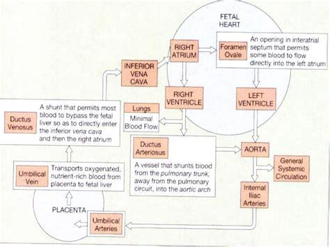 fetal circulation diagram anatomy and physiology fetal circulation cfaa science