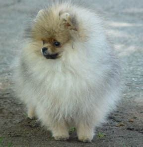 teacup pomeranian how big do they get 1000 images about pomeranians rust or brown black or white they are all precious in