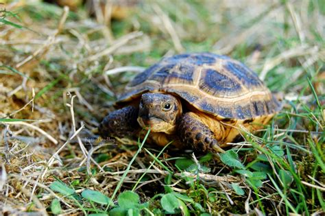 russian tortoises tortaddiction updated baby russian tortoise pics