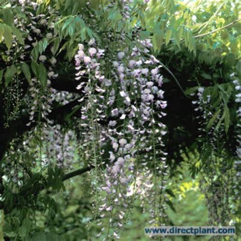 blauwe regen 150 cm tuingerei wisteria floribunda macrobotrys japanse