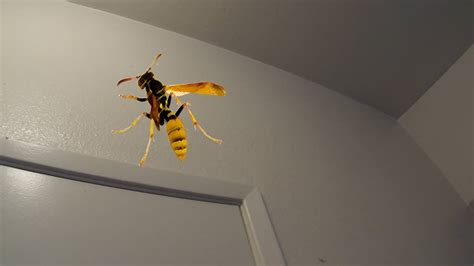 wasps in bathroom trapped in the bathroom with a wasp youtube