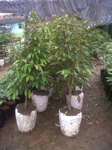 Bibit Durian Bawor Bandung persiapan bibit durian bawor montong orange dan cani