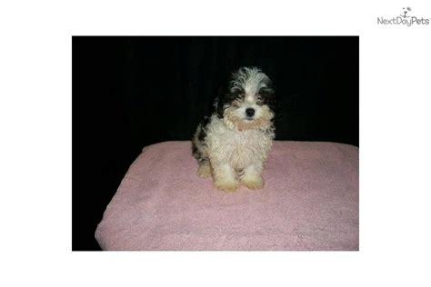maltipoo puppies for sale in nj meet e cliar a malti poo maltipoo puppy for sale