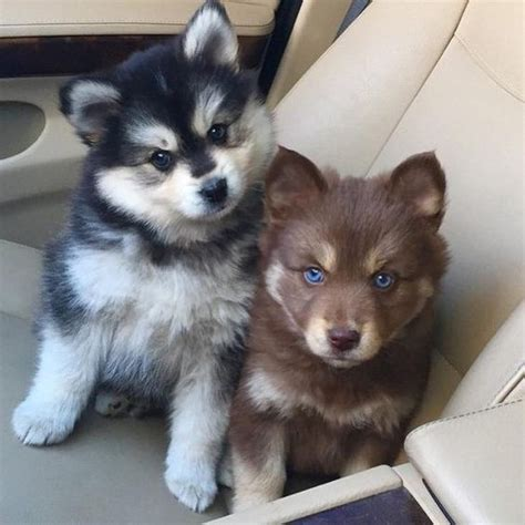 huskies pomeranians pomsky or the pomeranian husky the cutest i am bored
