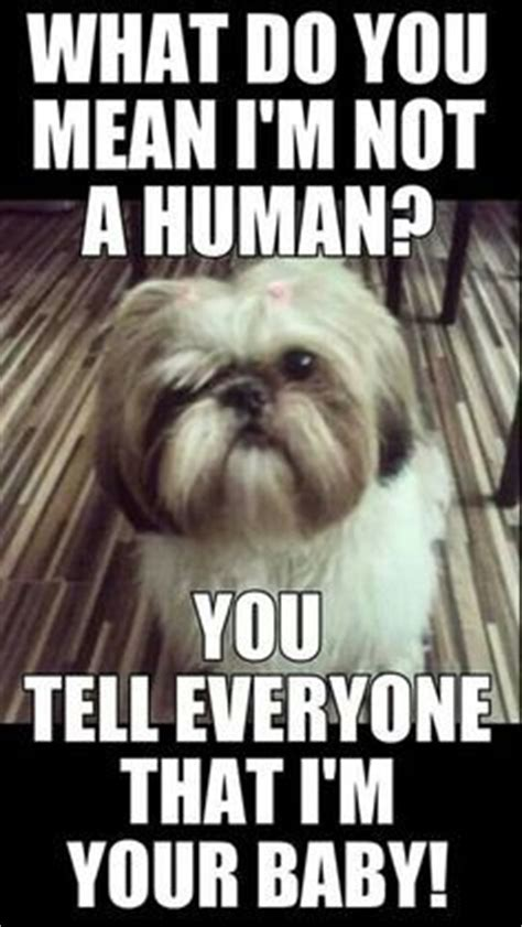 what does couching mean 25 best ideas about lhasa apso on pinterest lhasa apso