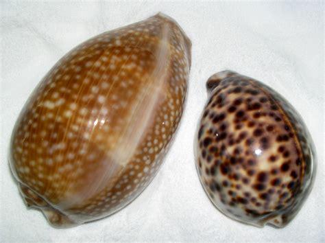 The Cowry Seashell Seashells By Millhill