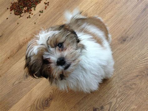 lhasa apso cross shih tzu puppies for sale shih tzu lhasa apso cross for rehoming newcastle upon tyne tyne and wear pets4homes