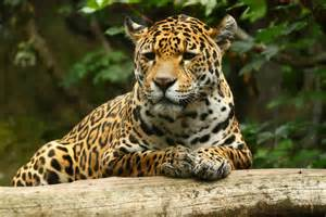 La Jaguars Jaguar En La Selva Hd 2376x1584 Imagenes Wallpapers