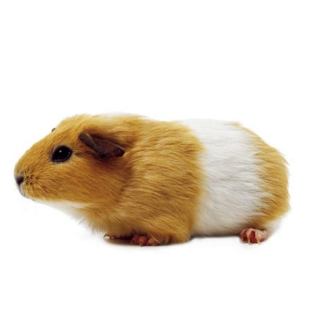 Small Animals Free To Home Guinea Pig Pictures Search