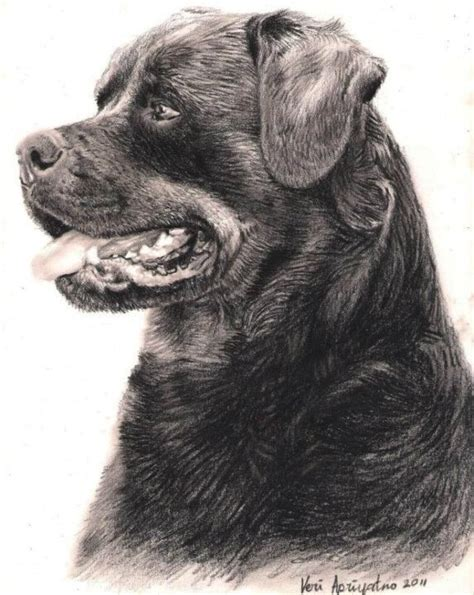 rottweiler pencil drawing 222 best rottweiler images on rottweiler rottweilers and big dogs