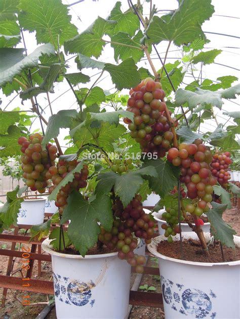 Benih Anggur Merah jual bibit anggur merah bali herbal terapi patria