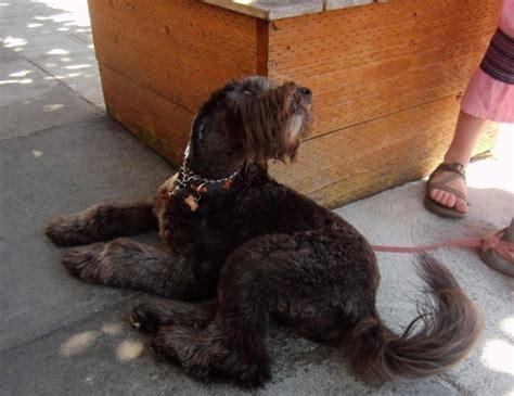 golden retriever schnauzer mix of the day schnauzer golden retriever mix the dogs of san franciscothe