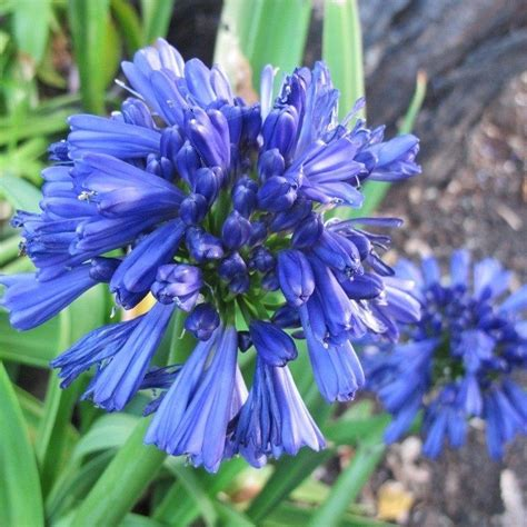 25 agapanthus blue lily of the nile flower seeds perennial ebay